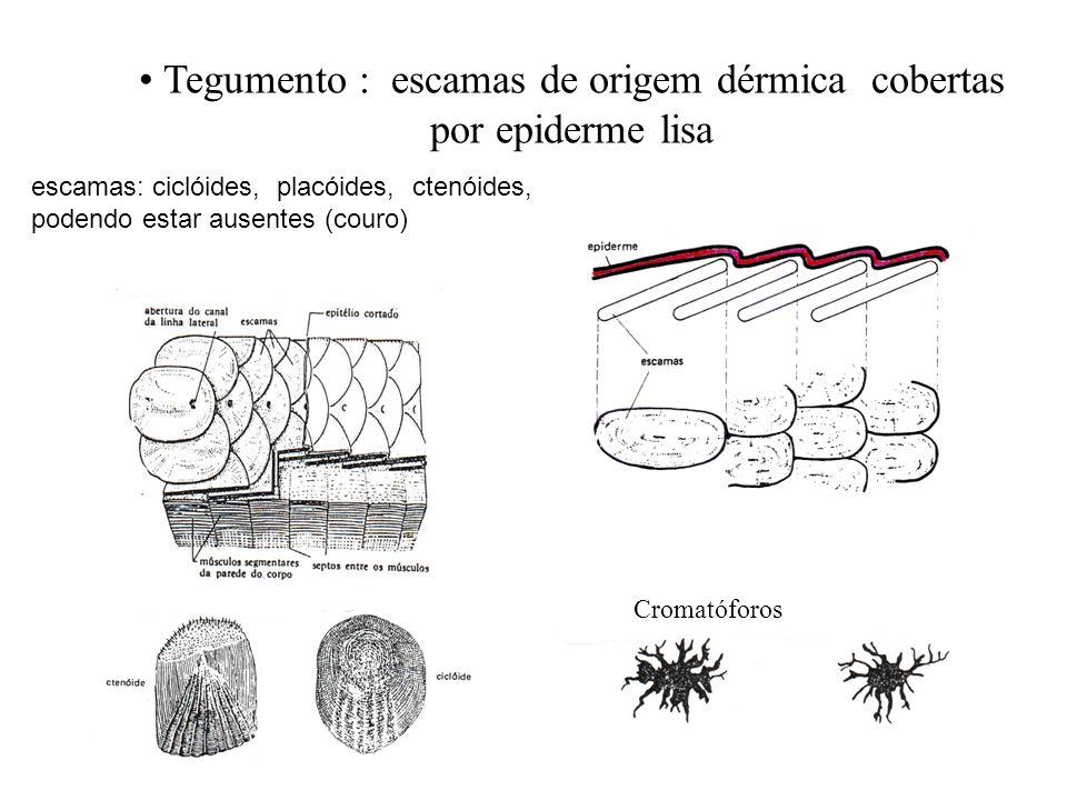 Tegumento : escamas de origem dérmica cobertas por epiderme lisa