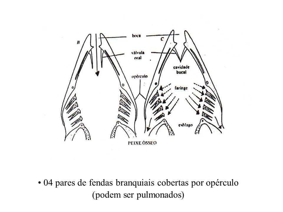 04 pares de fendas branquiais cobertas por opérculo