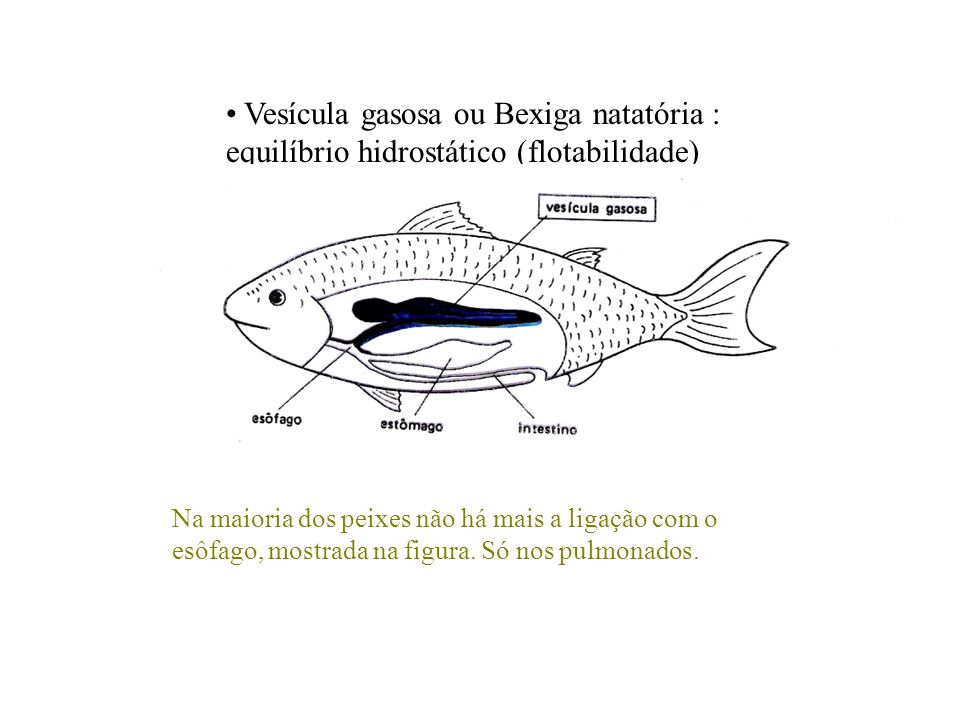 Vesícula gasosa ou Bexiga natatória : equilíbrio hidrostático (flotabilidade)