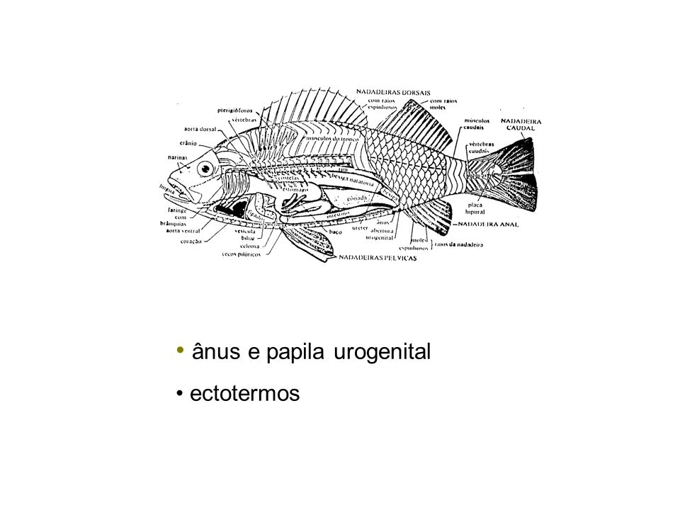 ânus e papila urogenital