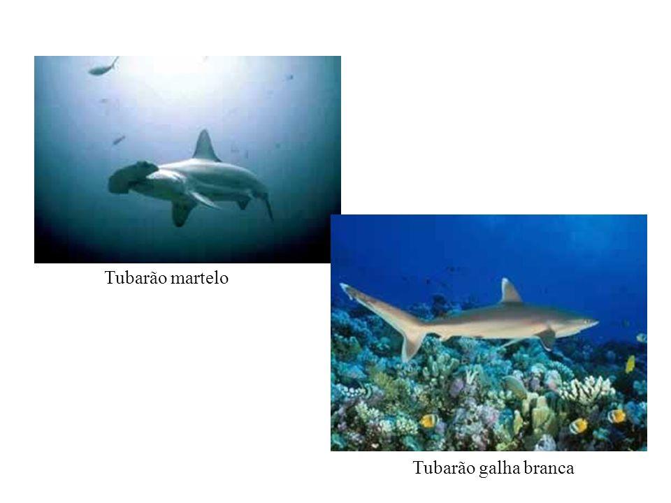 Tubarão martelo Tubarão galha branca