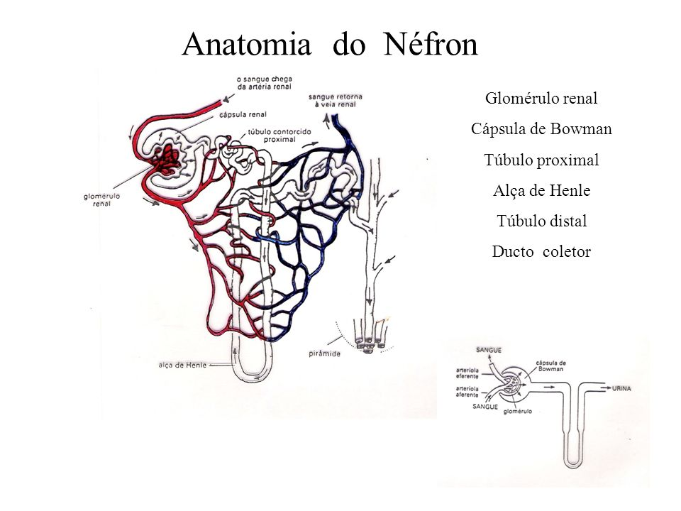 Anatomia do Néfron Glomérulo renal Cápsula de Bowman Túbulo proximal