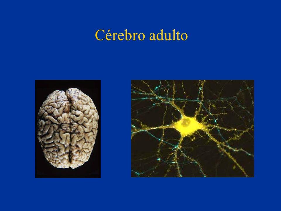 Cérebro adulto