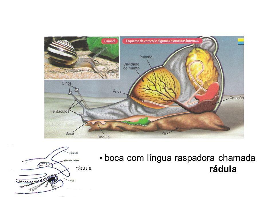 boca com língua raspadora chamada rádula