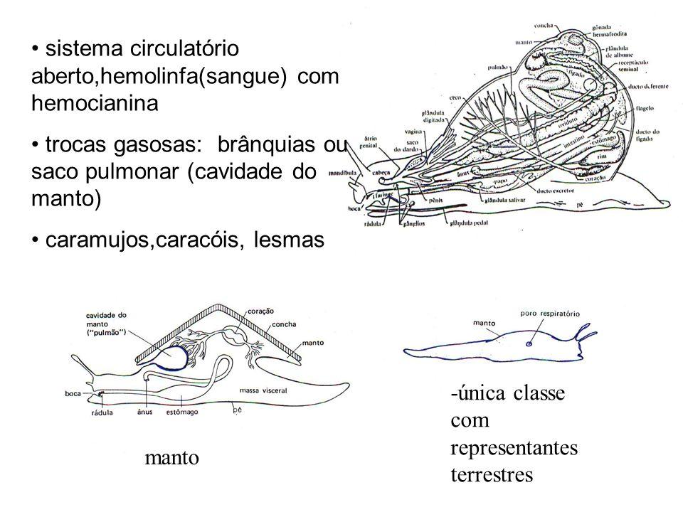 sistema circulatório aberto,hemolinfa(sangue) com hemocianina