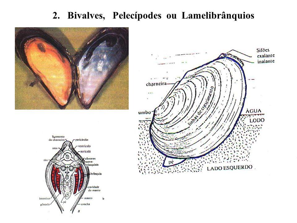 2. Bivalves, Pelecípodes ou Lamelibrânquios