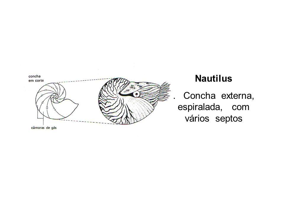 . Concha externa, espiralada, com vários septos