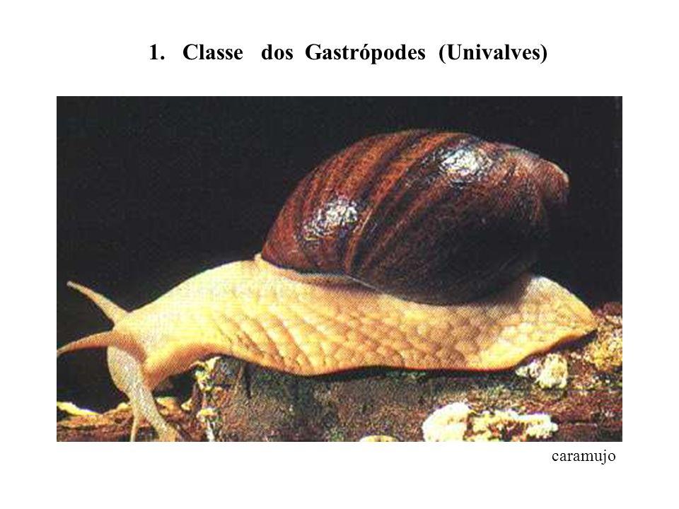 1. Classe dos Gastrópodes (Univalves)