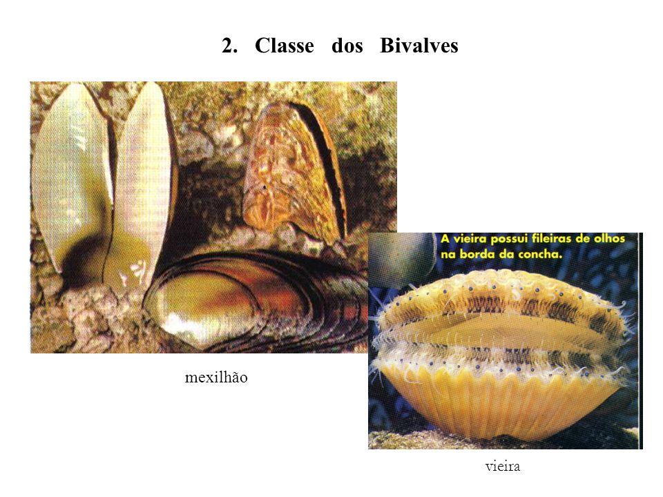 2. Classe dos Bivalves mexilhão vieira