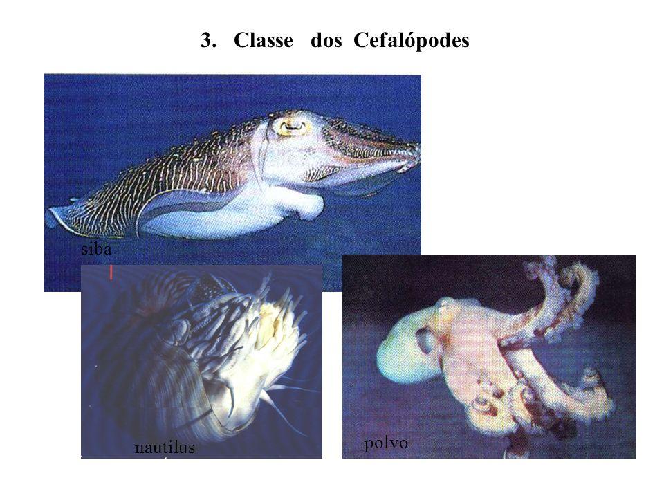 3. Classe dos Cefalópodes