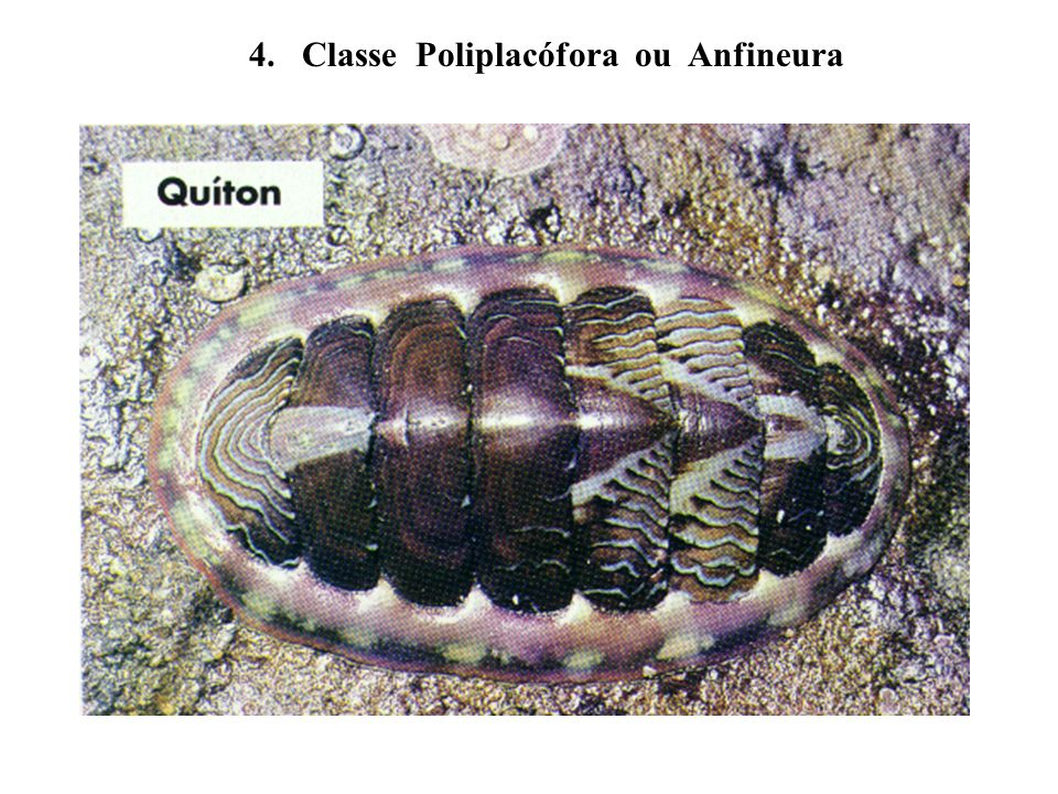 4. Classe Poliplacófora ou Anfineura