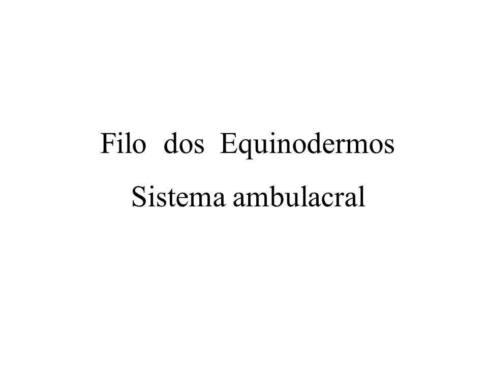 Filo dos Equinodermos Sistema ambulacral