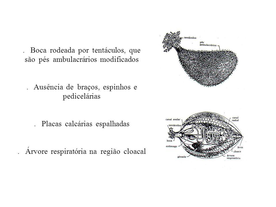 . Boca rodeada por tentáculos, que são pés ambulacrários modificados