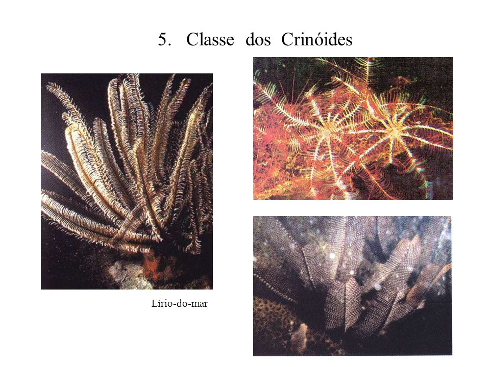 5. Classe dos Crinóides Lírio-do-mar