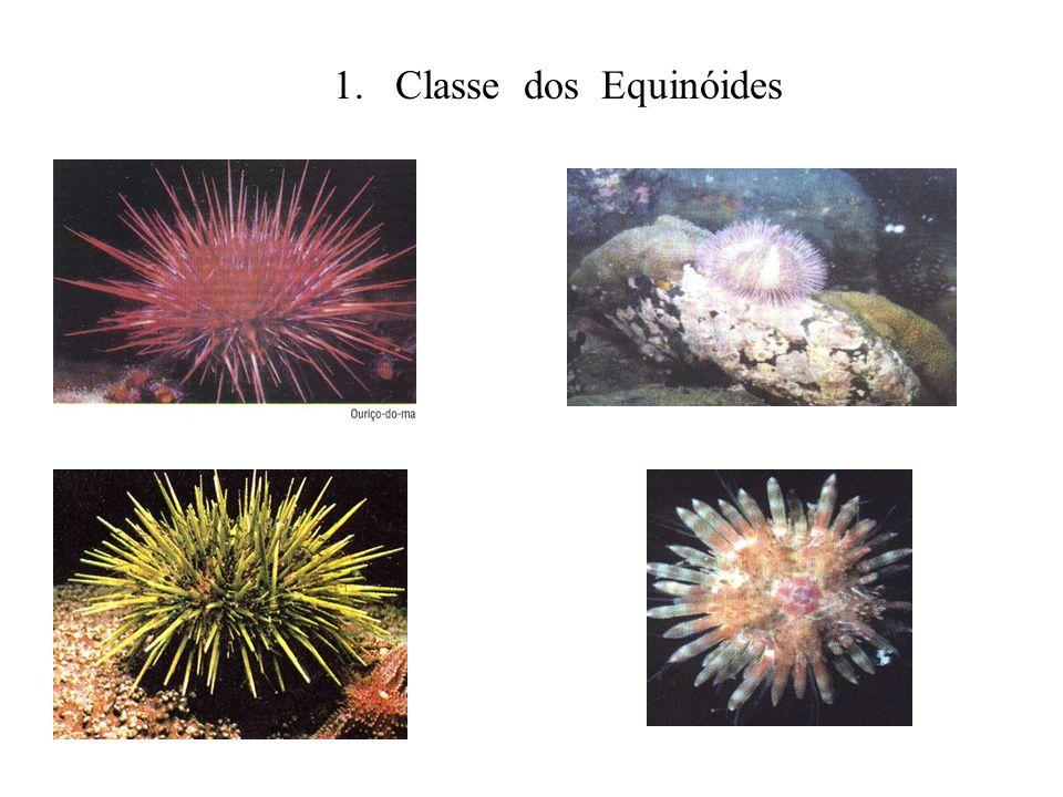 1. Classe dos Equinóides