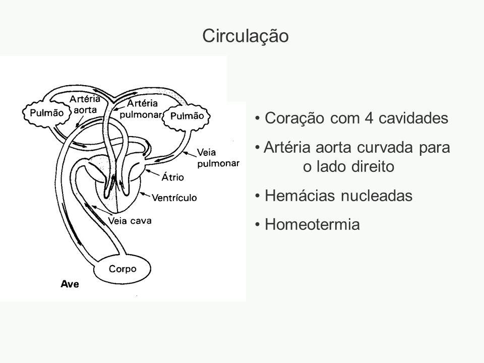 Circulação Coração com 4 cavidades