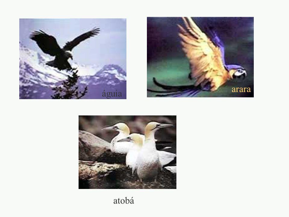 arara águia atobá