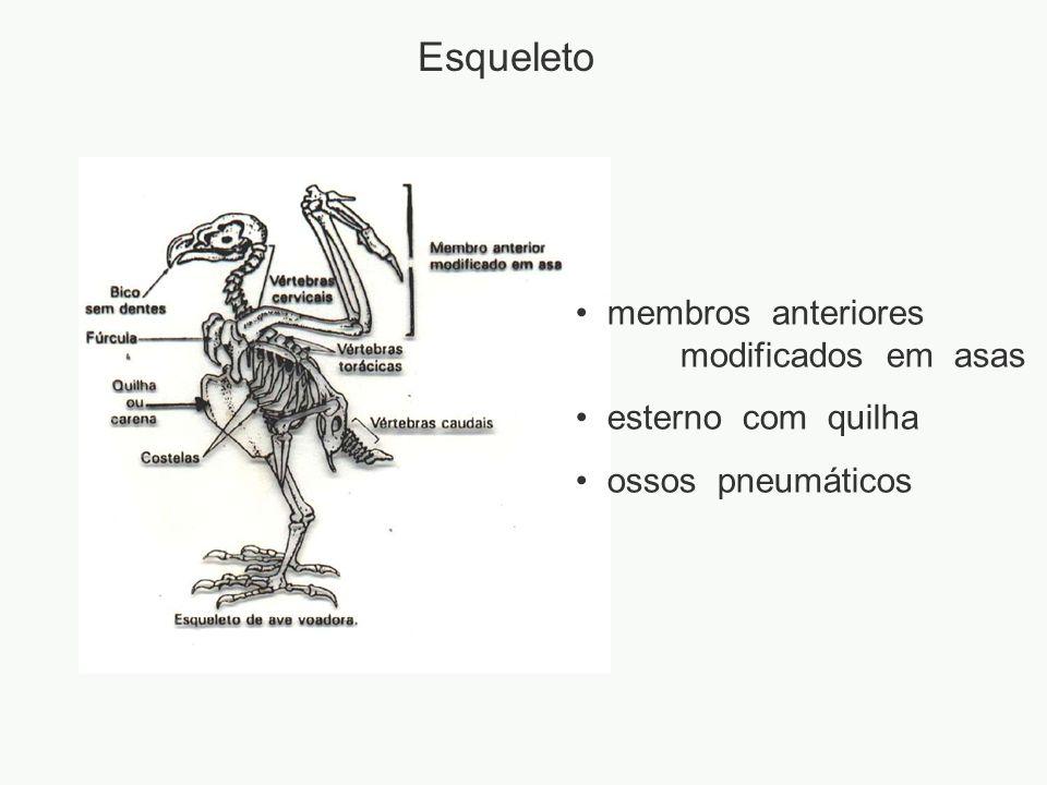 Esqueleto membros anteriores modificados em asas esterno com quilha