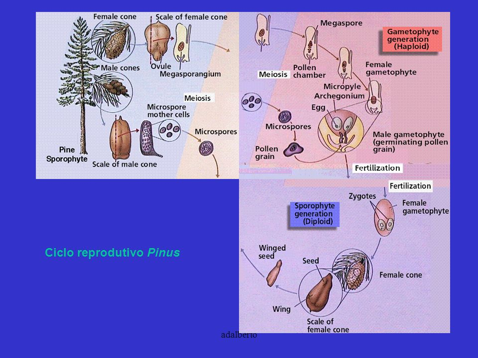 Ciclo reprodutivo Pinus