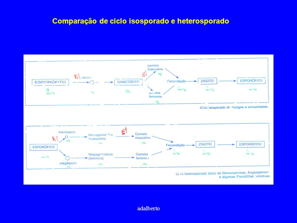 Comparação de ciclo isosporado e heterosporado