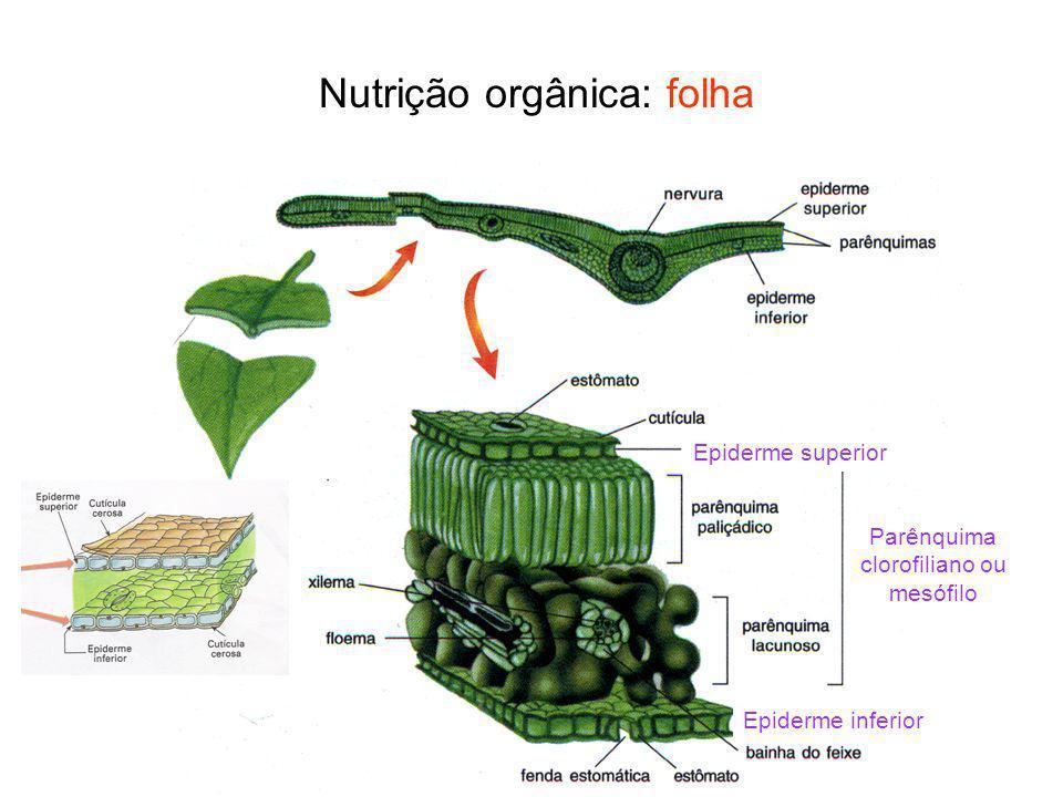 Nutrição orgânica: folha