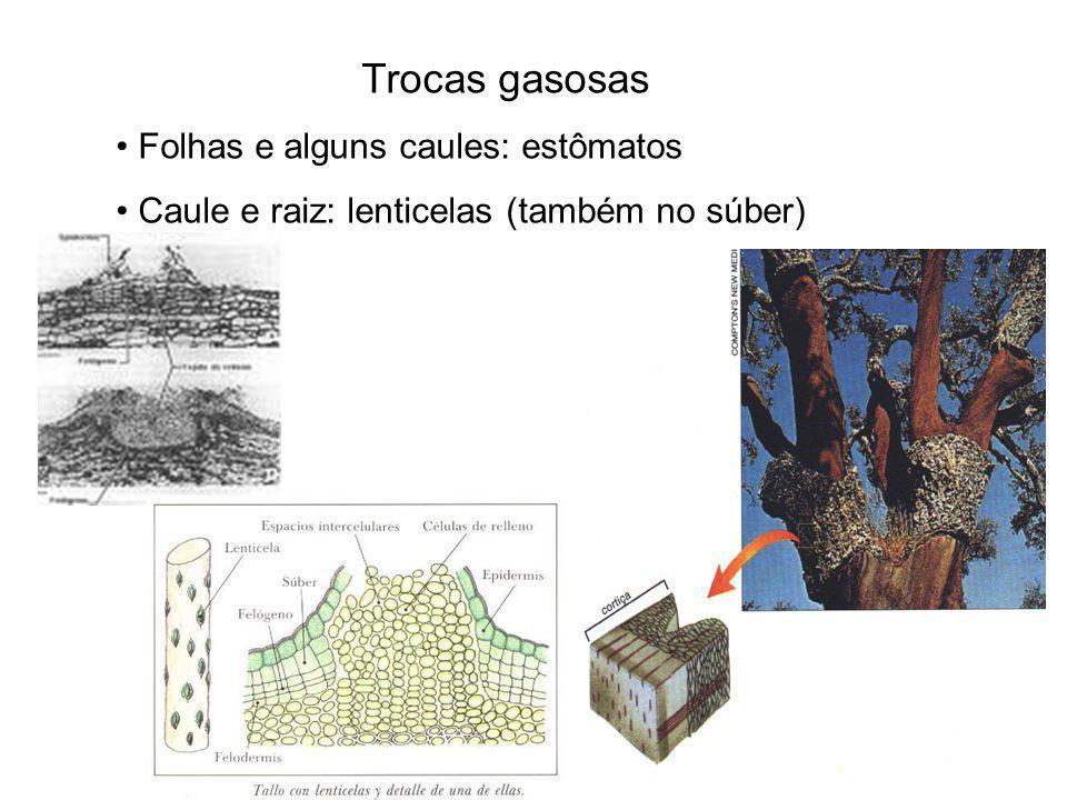 Trocas gasosas Folhas e alguns caules: estômatos