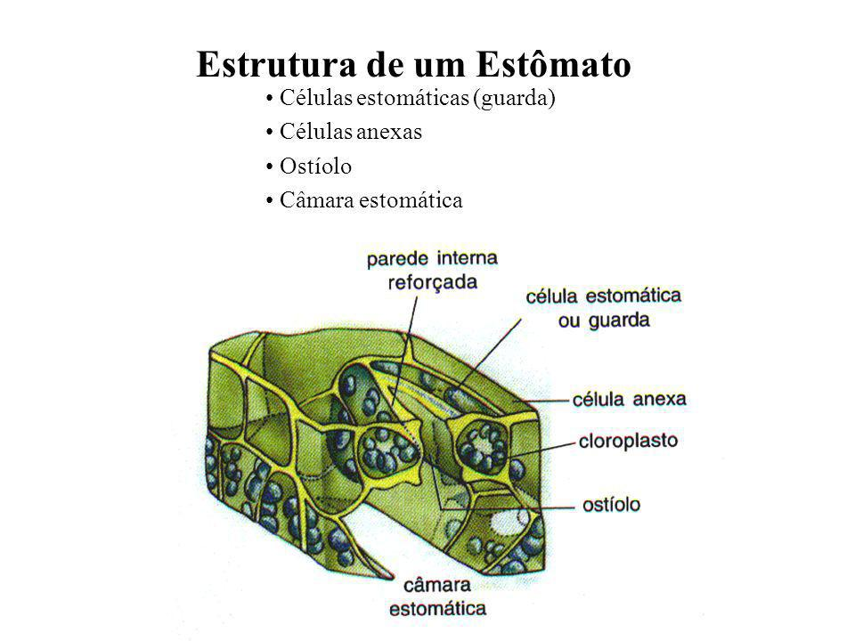 Estrutura de um Estômato
