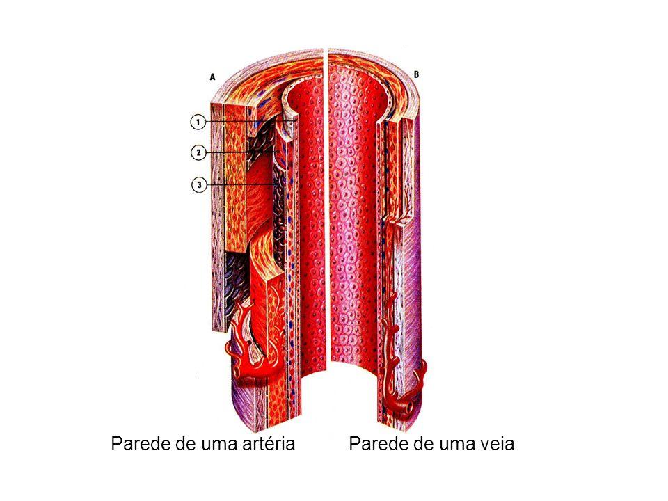 Parede de uma artéria Parede de uma veia