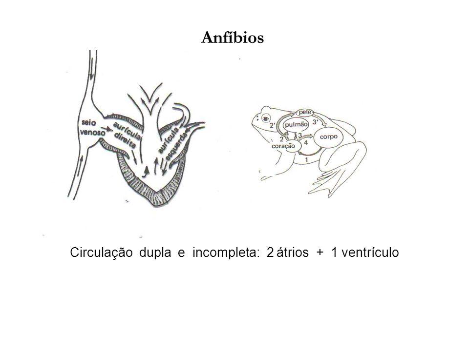 Circulação dupla e incompleta: 2 átrios + 1 ventrículo