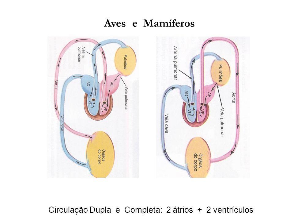 Circulação Dupla e Completa: 2 átrios + 2 ventrículos