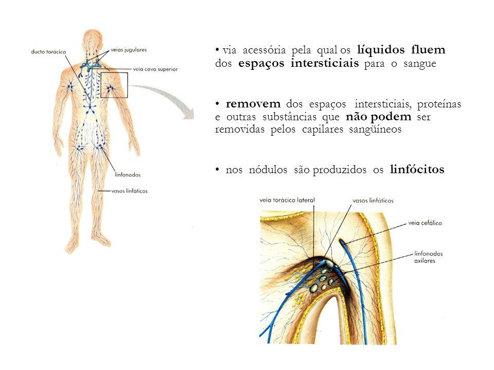 via acessória pela qual os líquidos fluem dos espaços intersticiais para o sangue