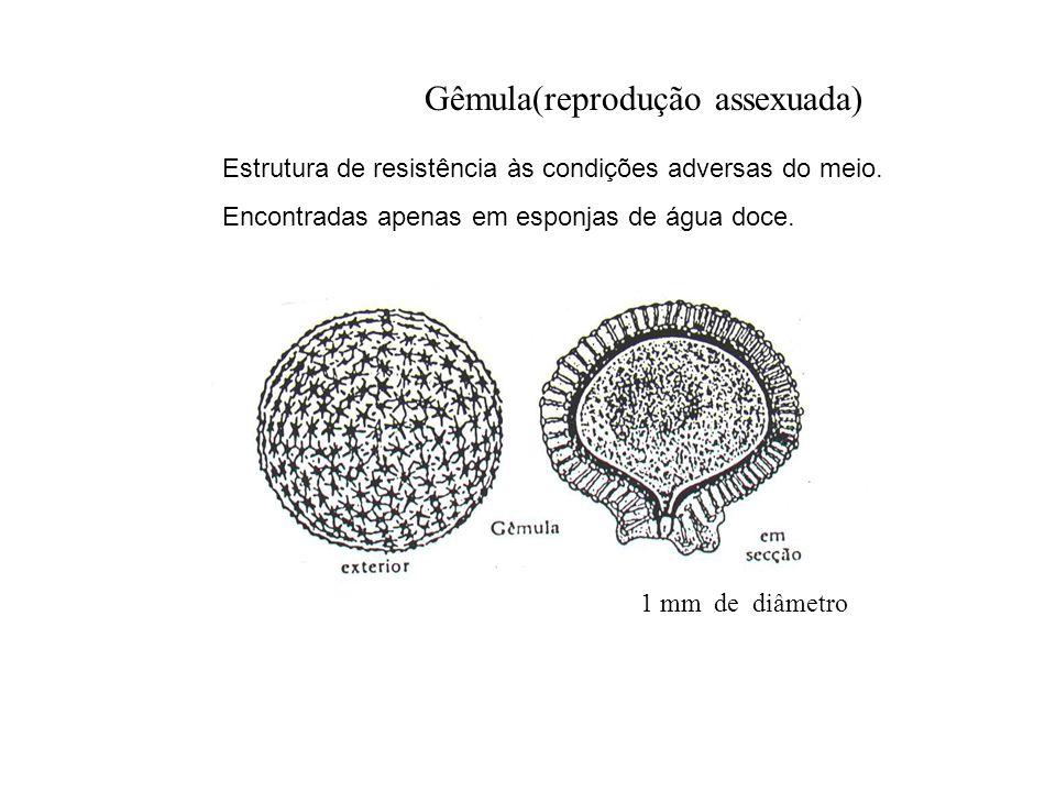 Gêmula(reprodução assexuada)
