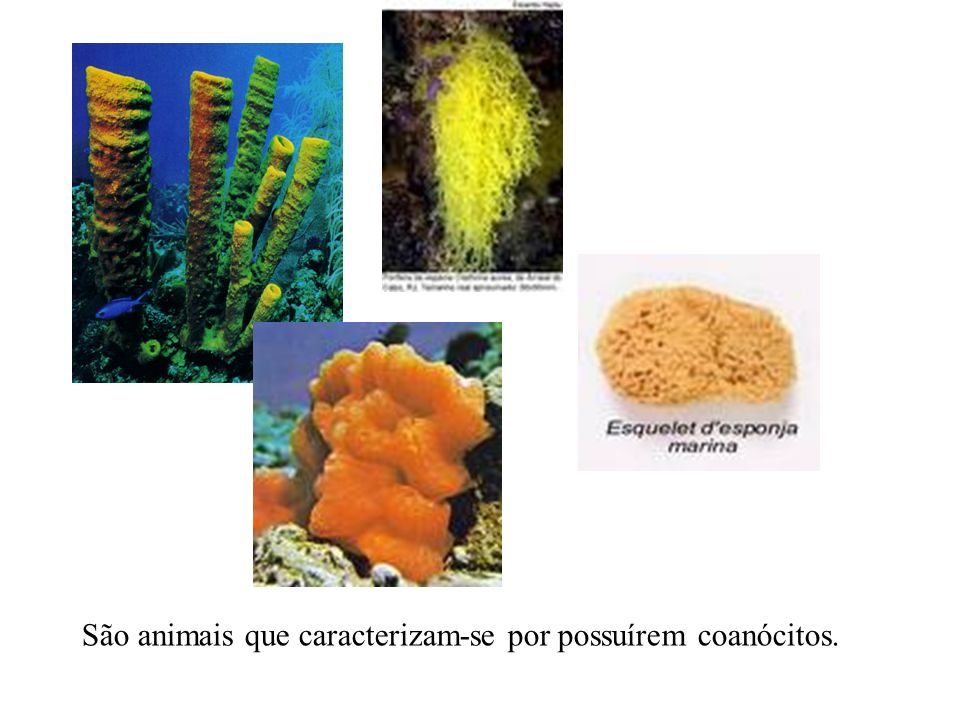 São animais que caracterizam-se por possuírem coanócitos.