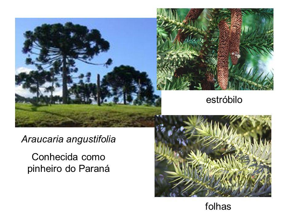Araucaria angustifolia Conhecida como pinheiro do Paraná