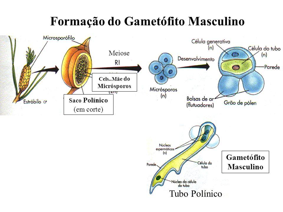 Formação do Gametófito Masculino Cels..Mãe do Micrósporos