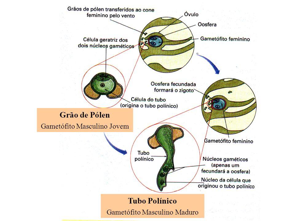 Grão de Pólen Tubo Polínico Gametófito Masculino Jovem