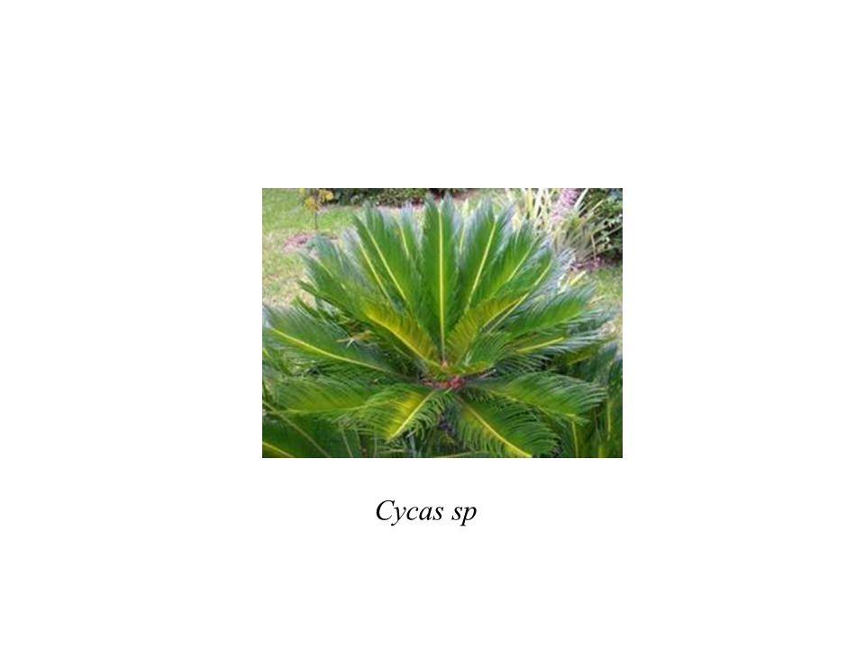 Cycas sp