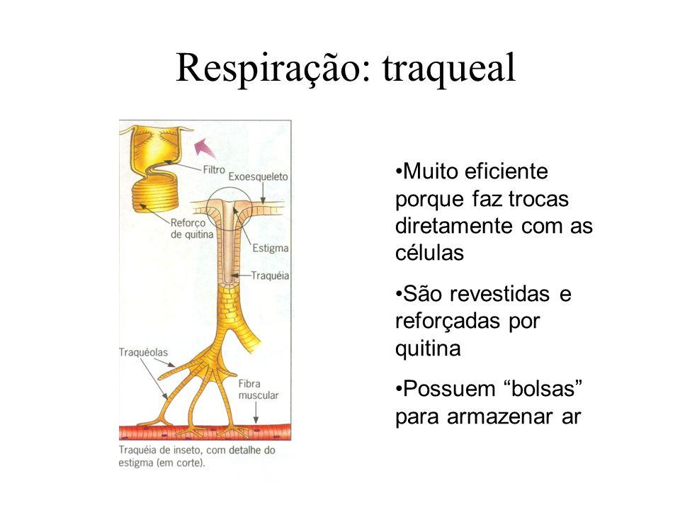 Respiração: traqueal Muito eficiente porque faz trocas diretamente com as células. São revestidas e reforçadas por quitina.