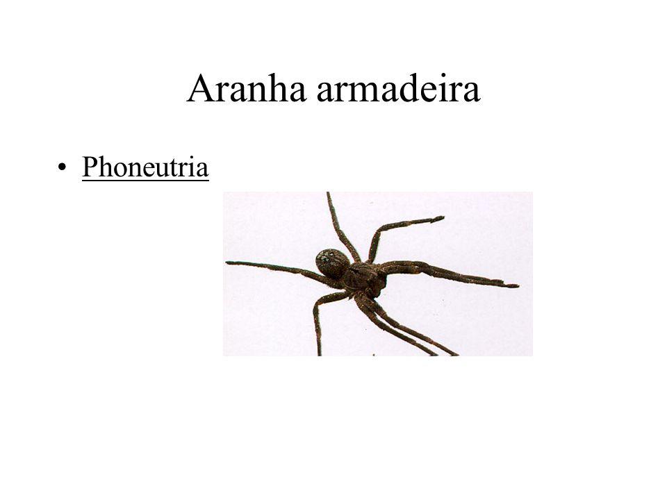 Aranha armadeira Phoneutria