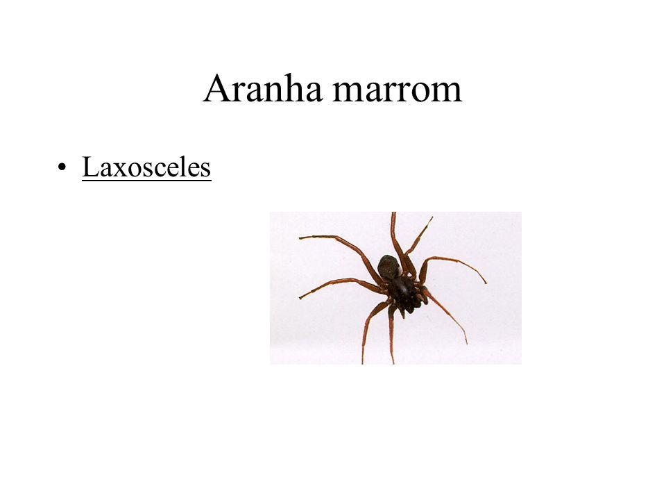 Aranha marrom Laxosceles