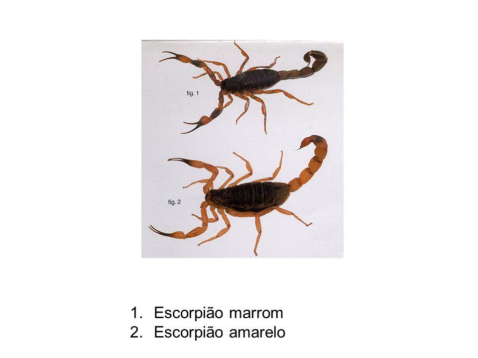 Escorpião marrom Escorpião amarelo