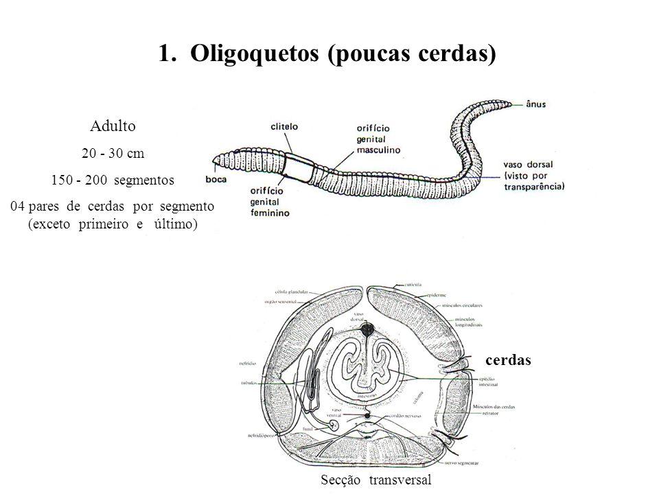 1. Oligoquetos (poucas cerdas)