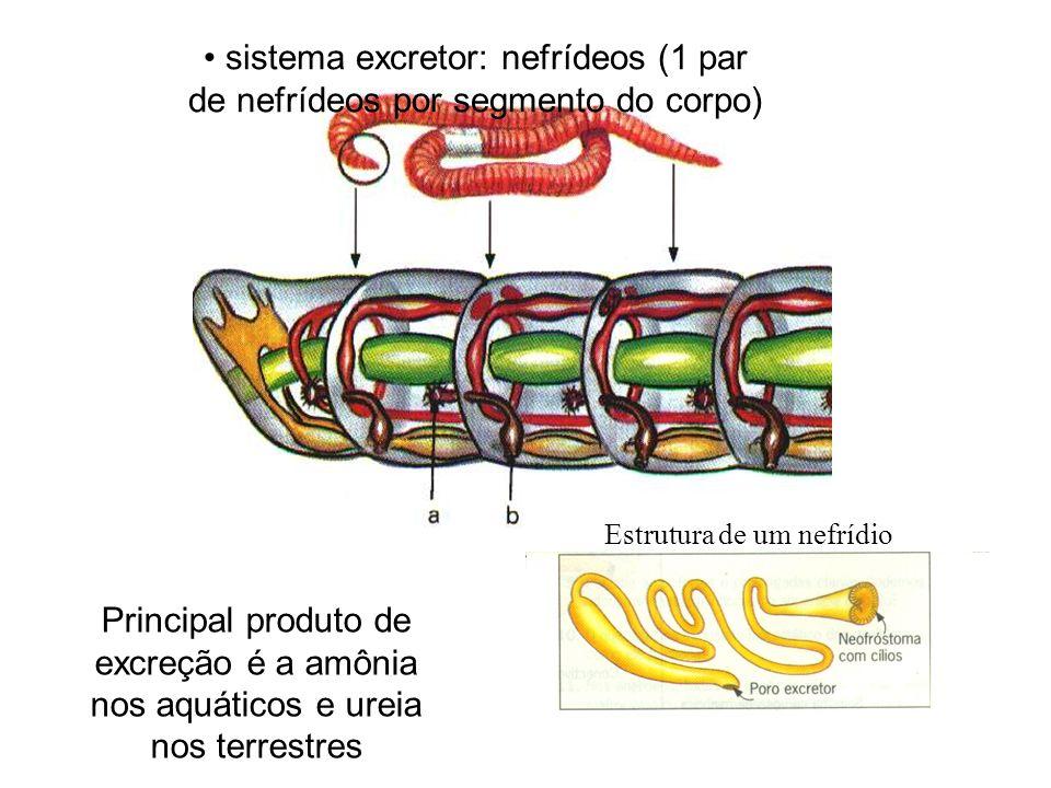 sistema excretor: nefrídeos (1 par de nefrídeos por segmento do corpo)