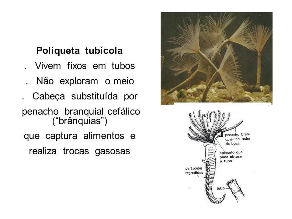 . Cabeça substituída por penacho branquial cefálico ( brânquias )