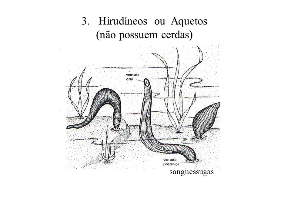 3. Hirudíneos ou Aquetos (não possuem cerdas)