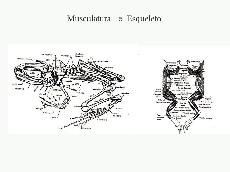 Musculatura e Esqueleto