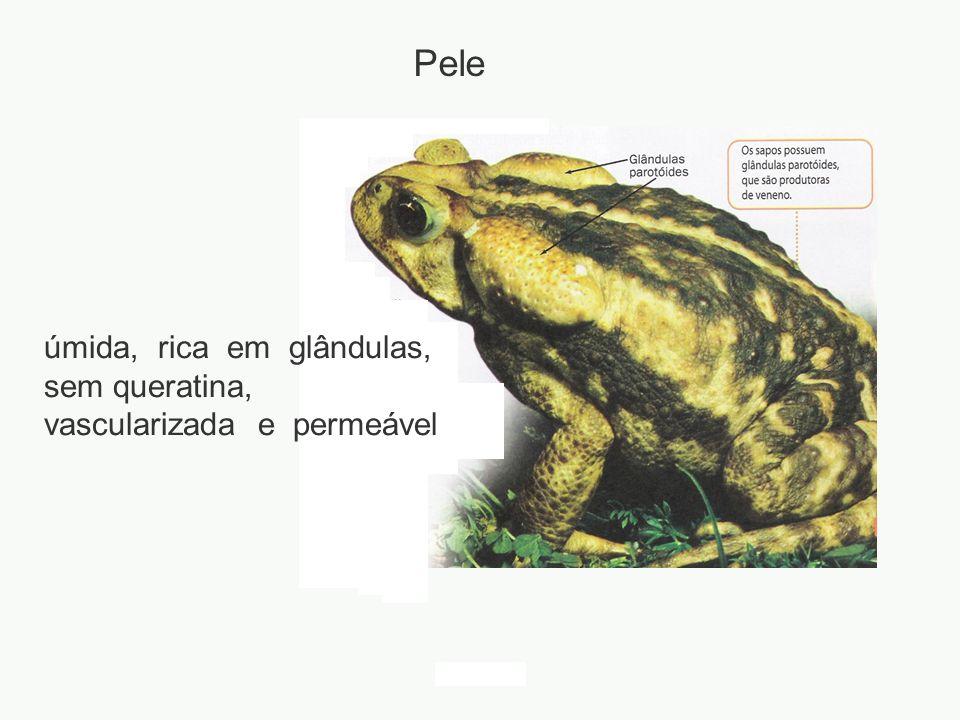 Pele úmida, rica em glândulas, sem queratina, vascularizada e permeável adalberto