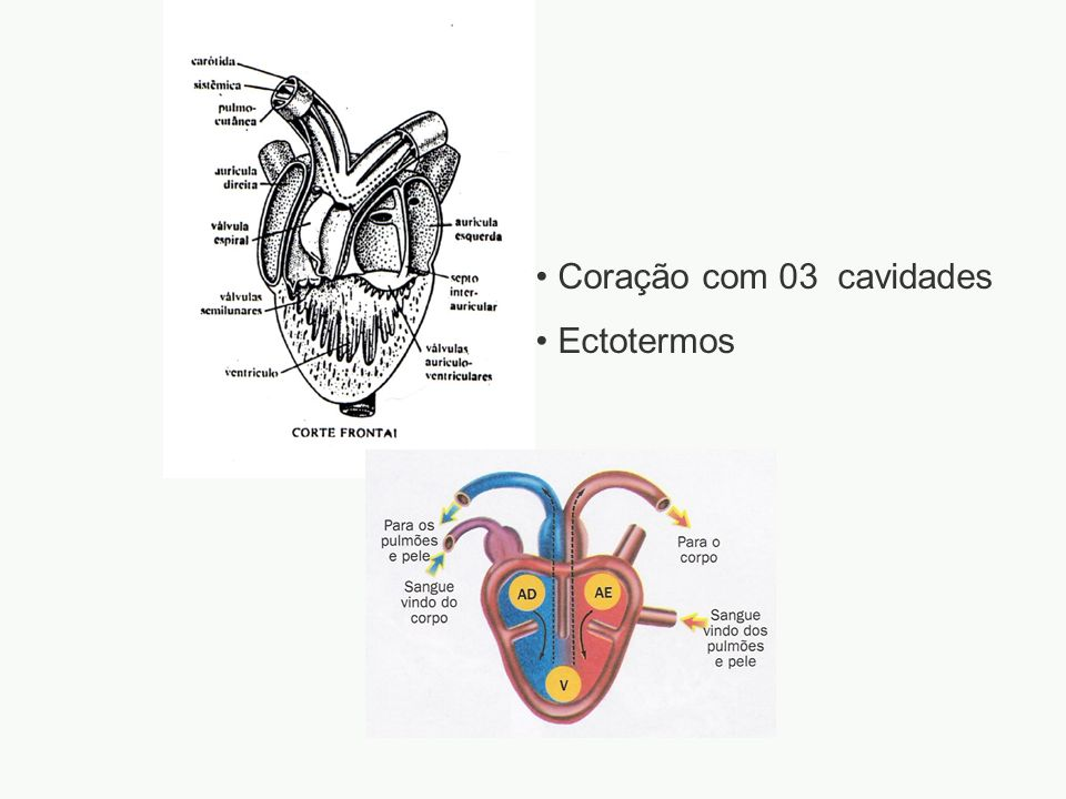 Coração com 03 cavidades Ectotermos adalberto