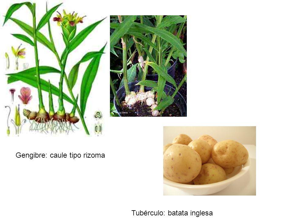 Gengibre: caule tipo rizoma