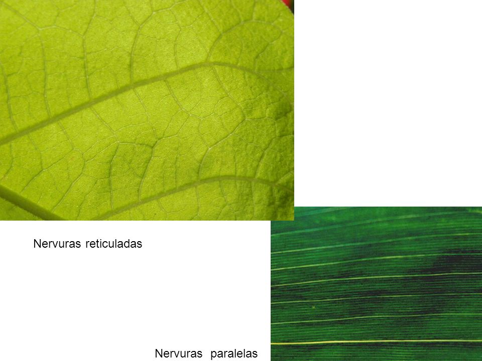 Nervuras reticuladas Nervuras paralelas